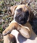 Black Mouth Cur puppies for sale