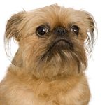 Brussels Griffon puppies for sale