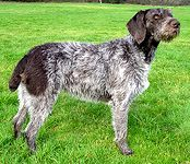 German Wirehaired Pointer puppies for sale