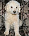Similar to most working breeds, the Kuvasz requires daily exercise and loves to work.