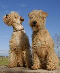 Lakeland Terrier puppies for sale