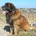 Leonberger puppies for sale
