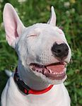 Miniature Bull Terriers puppies for sale