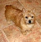 Norwich Terrier puppies for sale