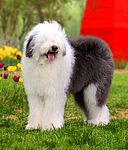 Old English Sheepdog puppies for sale - Old English Sheepdog