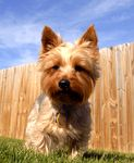Silky Terrier  puppies for sale