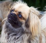 Tibetan Spaniel puppies for sale