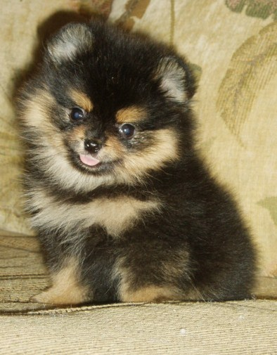 Puppies For Sale Pomeranian Pomeranians Poms Fcategory In