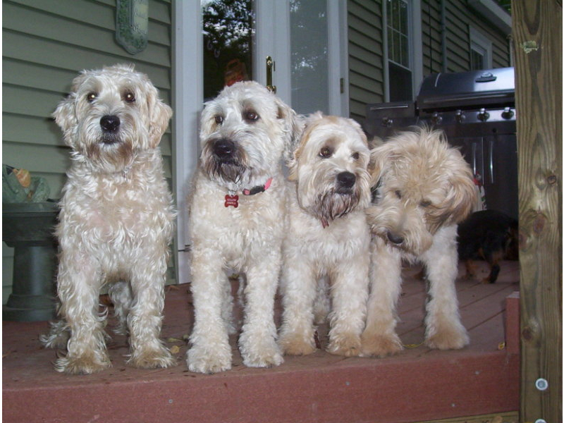 Puppies For Sale Soft Coated Wheaten Terrier Soft Coated Wheaten Terriers Wheatens