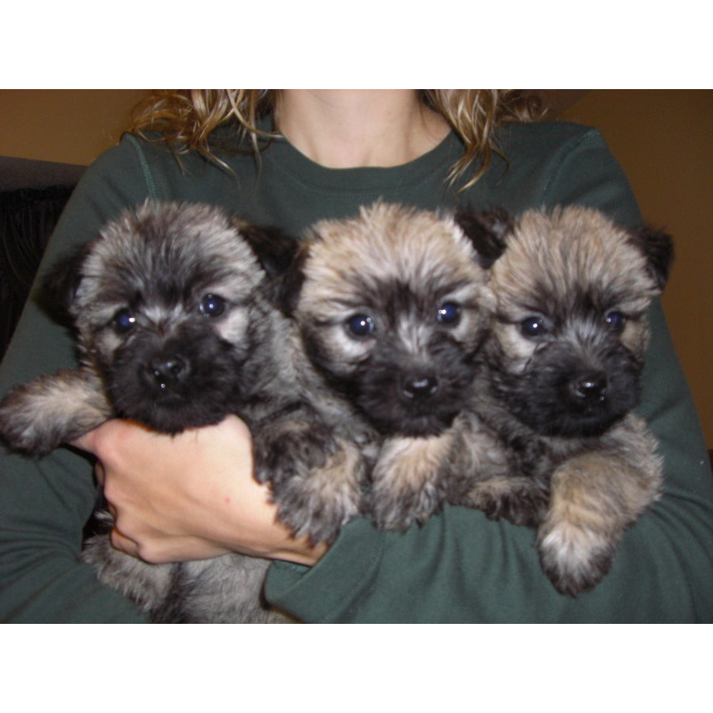 Puppies for sale - Cairn Terrier, Cairn Terriers, Cairns