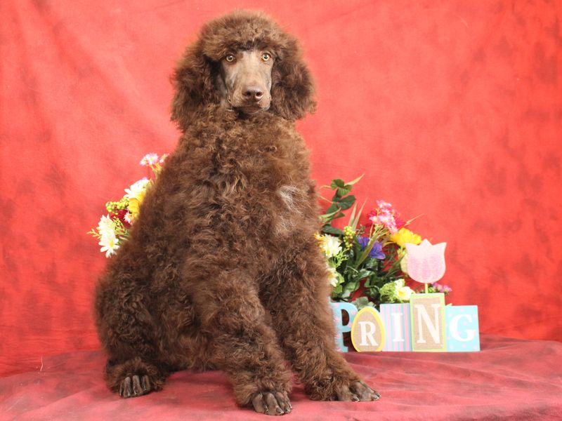 Standard Poodles For Sale In Kansas City