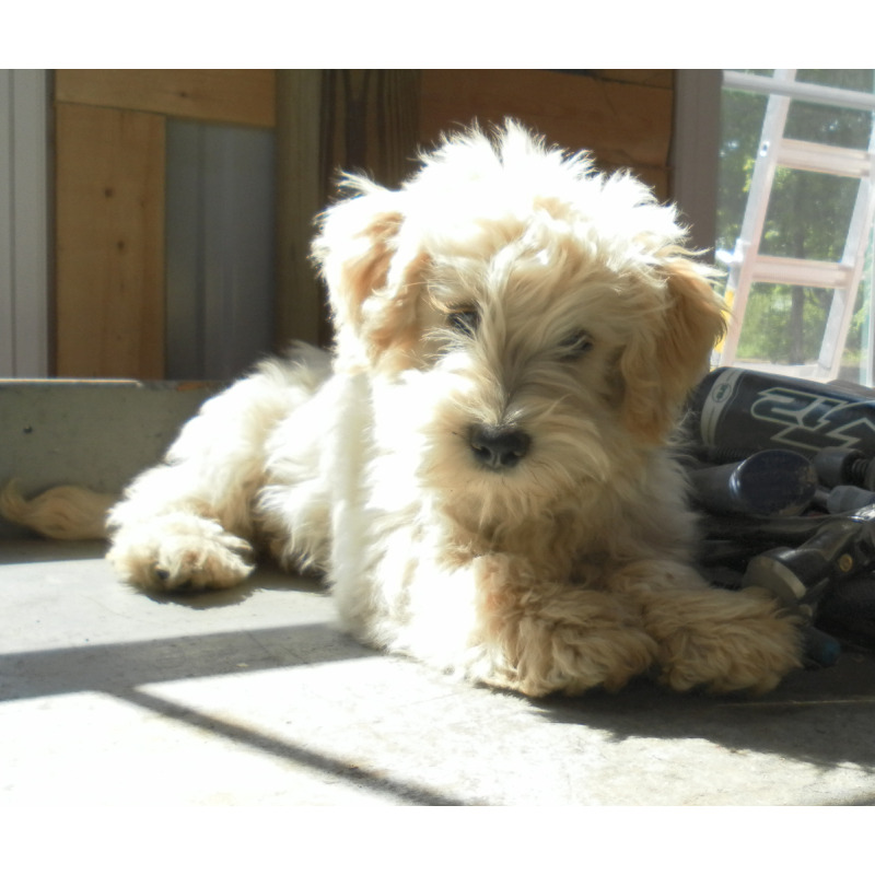 Puppies For Sale Schnoodle All Sizes Schnoodles F