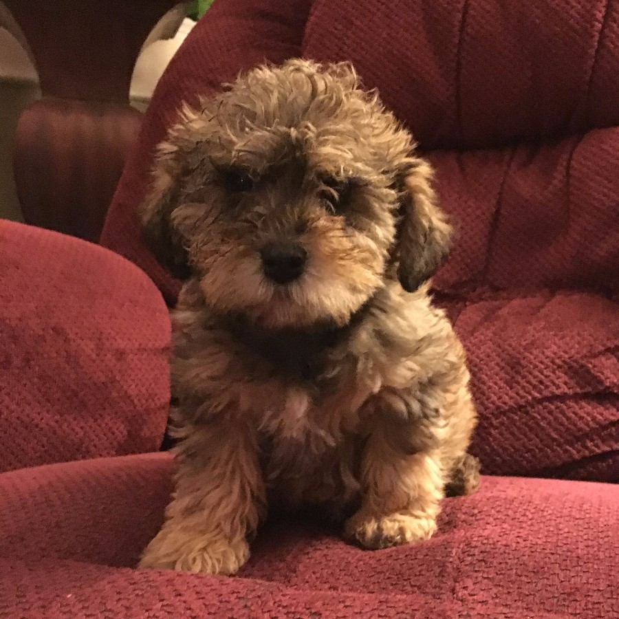 Puppies For Sale Schnoodle All Sizes Schnoodles Fcategory