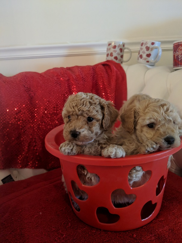 Puppies for sale - Bichpoo (Bichonpoo, Poochon), Bichpoos
