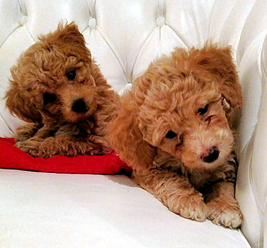 Puppies For Sale Bichpoo Bichonpoo Poochon Bichpoos Poochons