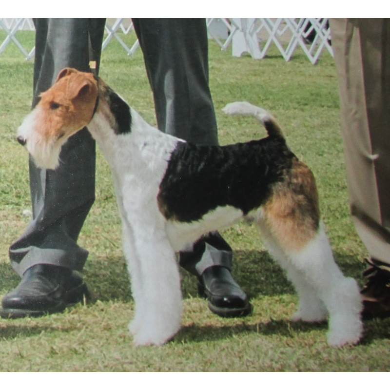 Puppies For Sale Wire Fox Terrier Wire Fox Terriers
