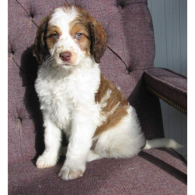 Puppies for sale - Poodle Mixes, Springerdoodles - ##f_category## in