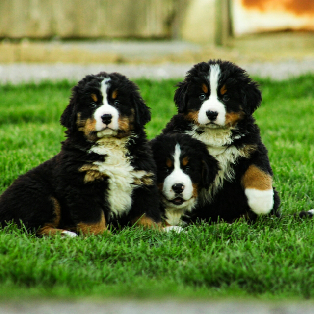 Puppies For Sale Bernese Mountain Dog Bernese Mountain