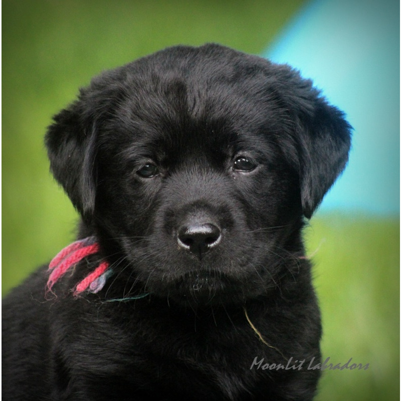 Puppies For Sale Labrador Retriever Labrador Retrievers