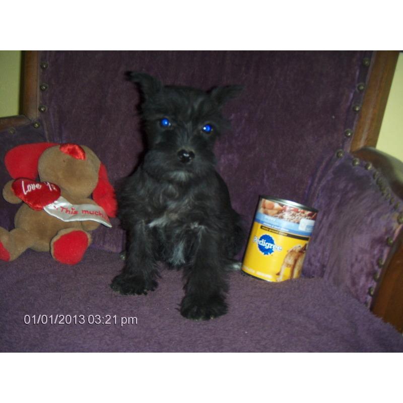 Puppies For Sale Miniature Schnauzer Miniature