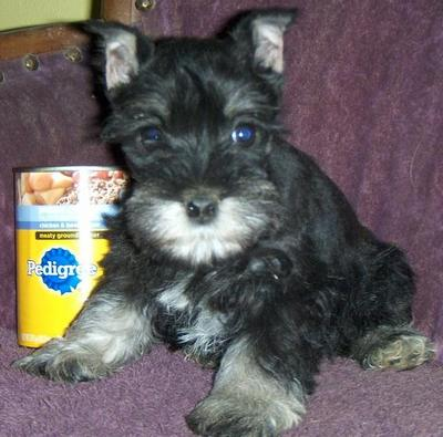 Puppies For Sale Miniature Schnauzer Miniature