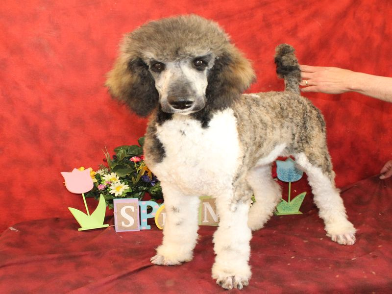 Puppies For Sale Poodle Standard Barbone Parti