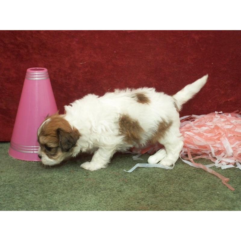 Puppies for sale - Cavachon, Cavachons - ##f_category## in