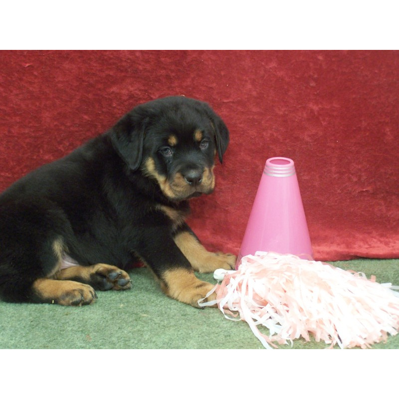 Rottweilers for Sale in Iowa City, IA | Dogs on Oodle ...