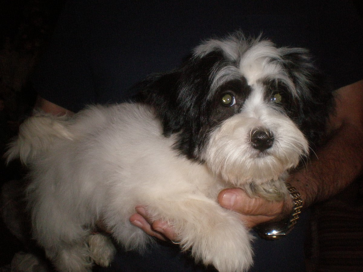 O'brisans Havanese Puppies for sal...
