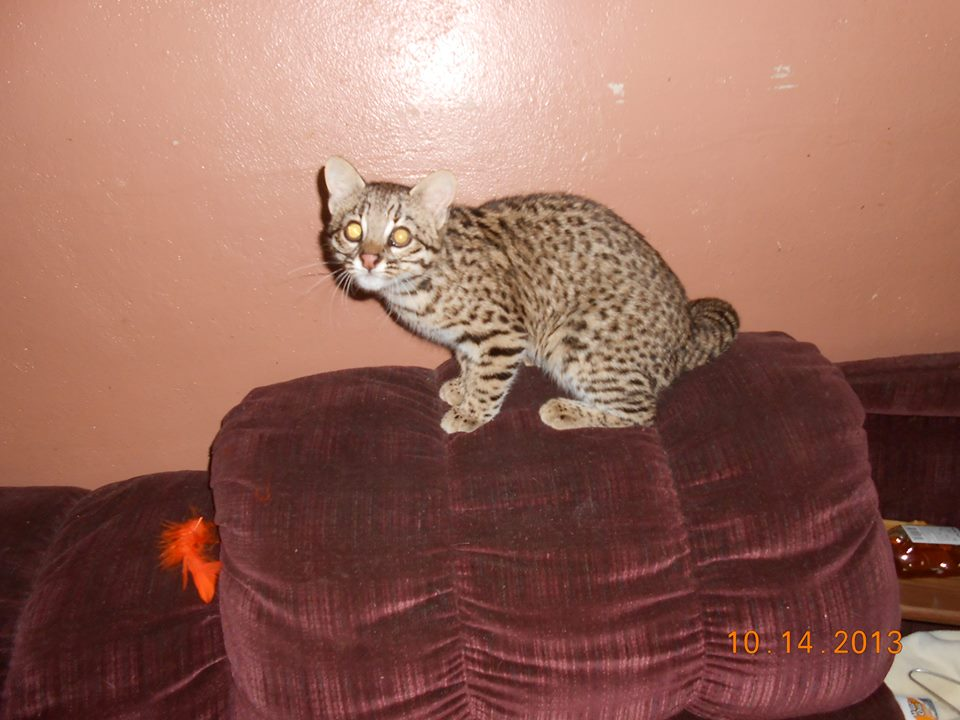 Geoffroy S Cat Country