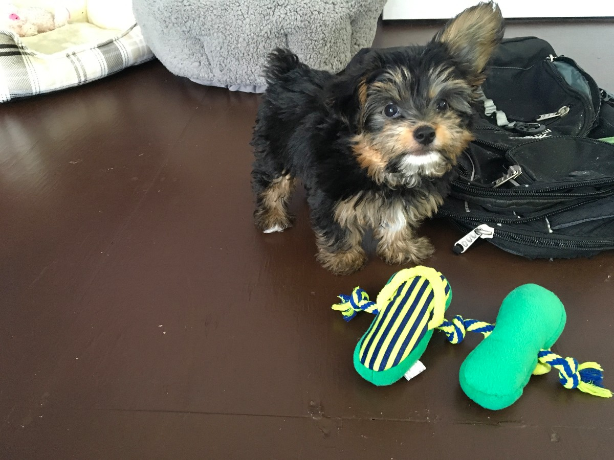 Puppies For Sale Designer Breeds And Unusual Breed Mixes Yorkie Crests Crestapoos