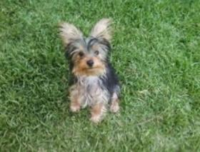 Puppies for sale - Yorkshire Terrier - Yorkie, Yorkshire