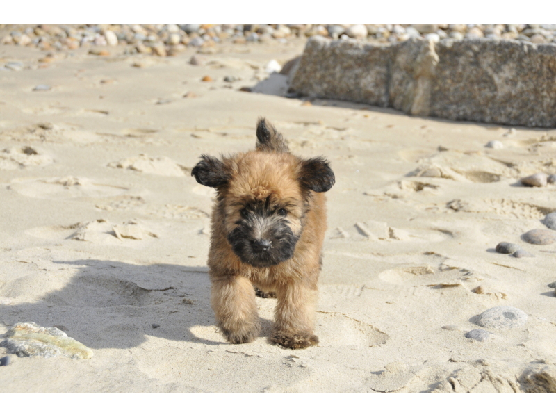 Puppies For Soft Coated Wheaten