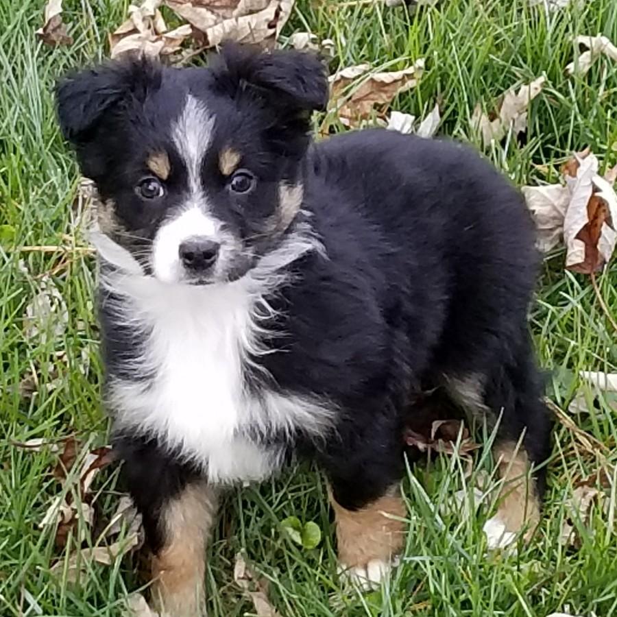 Puppies for sale - Miniature Australian Shepherd, Miniature
