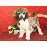 Standard Poodle puppies for sale - Standard Poodle breeders