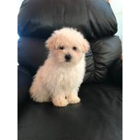 Local Dogs & Puppies in Tennessee
