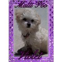 Maltepoo puppies for sale - Maltepoo breeders