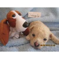 Cavapoo Puppies For Sale Cavapoo Breeders