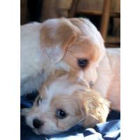 Cavapoo puppies for sale - Cavapoo breeders