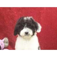 For Sale: Dogs & Puppies in Iowa