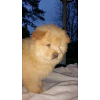 Chow Chow puppies for sale - Chow Chow breeders