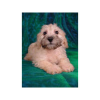 Bichpoo (Bichonpoo, Poochon) puppies for sale - Bichpoo