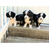 Dogs and Puppies for sale - Page 2