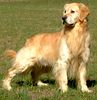 English Golden Retriever Puppies For Sale In Nc