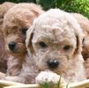 Miniature Poodle puppies for sale