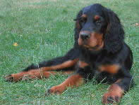 Gordon Setter puppies for sale