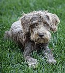 Click on underlined words to find Schnoodle puppies for sale.