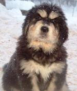 Tibetan Mastiff puppies for sale - Tibetan Mastiff breeders