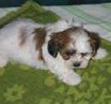Yorkichon Puppies For Sale Yorkichon Breeders