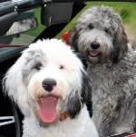 Sheepadoodle puppies for sale - Sheepadoodle breeders